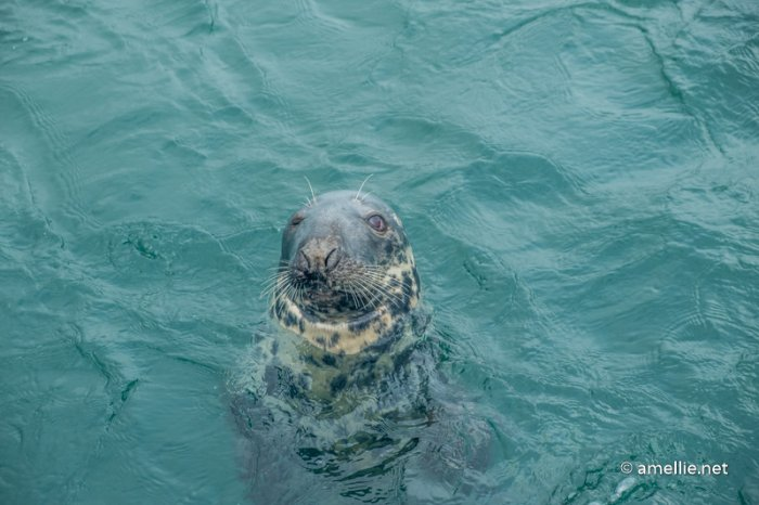 A cute seal in Mallaig