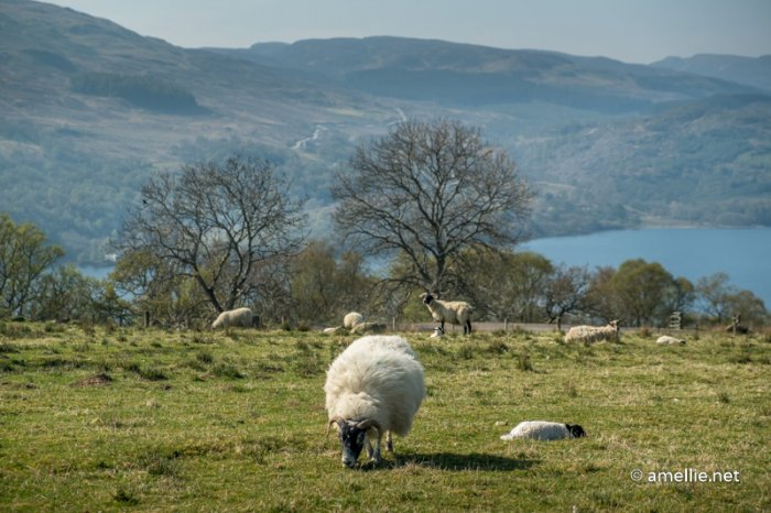 Sheep grazing near Loch Tay